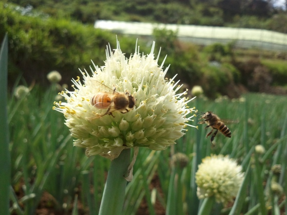 Apparently, bees love onion flowers.