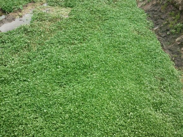 A bed of watercress (Nasturtium officinale).