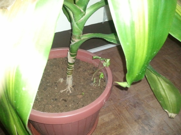 Another plant grows under the houseplant.